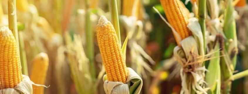 mısır ihracatı